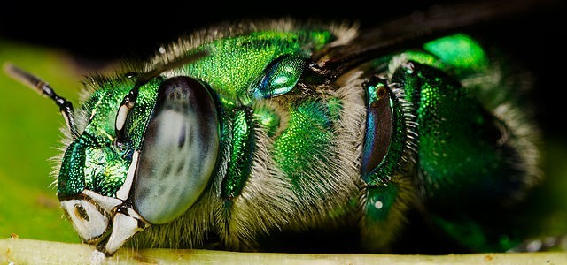 Orchid Bee Sleeping on Leaf